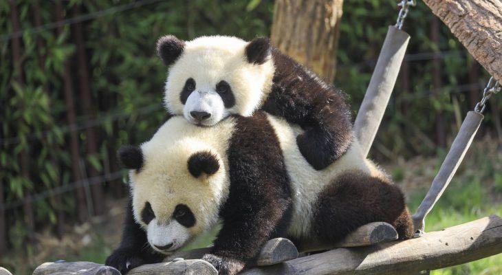 Pairi Daiza pandas géants-min
